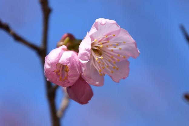 百万遍知恩寺の桜