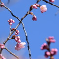 Photos: 百万遍知恩寺の桜