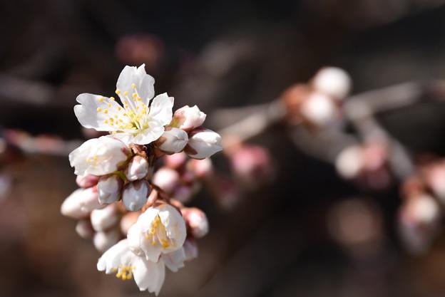 咲き始めた唐実桜(カラミザクラ)