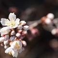 Photos: 咲き始めた唐実桜(カラミザクラ)