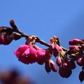 Photos: 八重寒緋桜(ヤエカンヒザクラ)