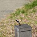 Photos: 賀茂川のジョビ君