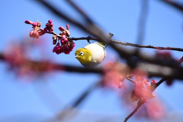 八重寒緋桜にやって来た目白(メジロ)