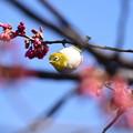 Photos: 八重寒緋桜にやって来た目白(メジロ)