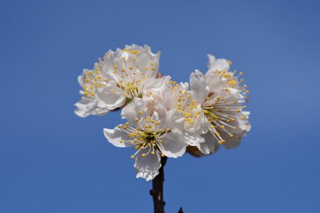 唐実桜(カラミザクラ)