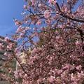 Photos: 一条戻橋の河津桜(カワヅザクラ)