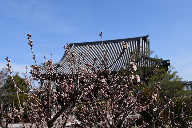 阿弥陀寺の唐実桜(カラミザクラ)