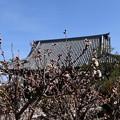 Photos: 阿弥陀寺の唐実桜(カラミザクラ)