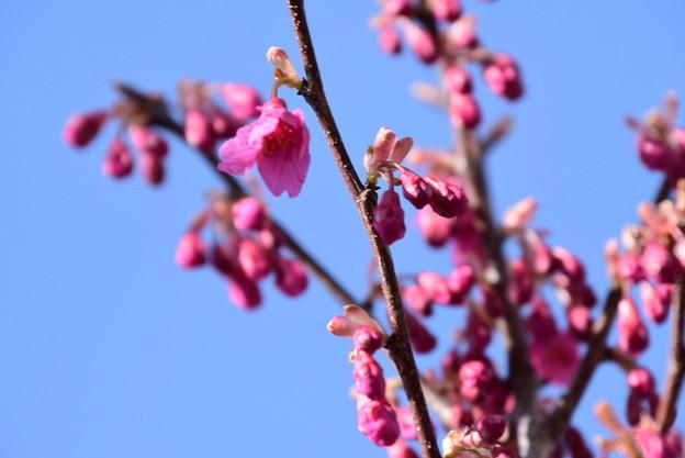 咲き始めた寒緋桜(カンヒザクラ)