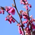 Photos: 咲き始めた寒緋桜(カンヒザクラ)