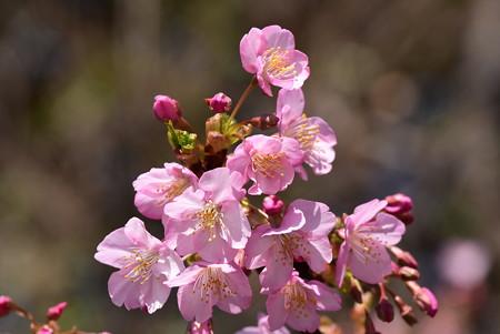 河津桜(カワヅザクラ)