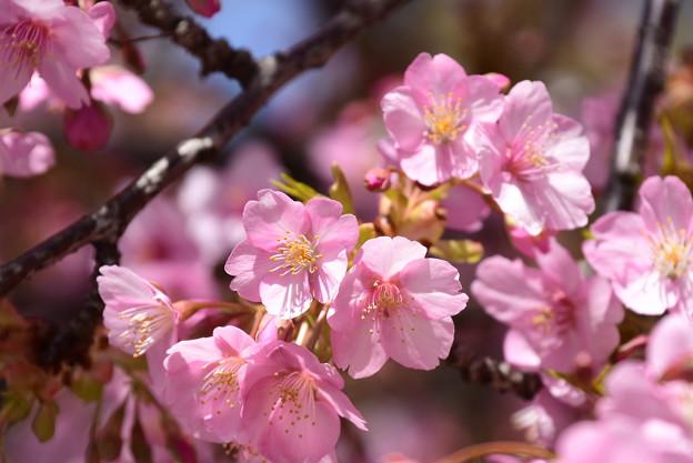 Photos: 河津桜(カワヅザクラ)