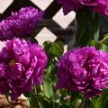 Photos: 牡丹
