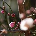 Photos: 紅白咲き分け