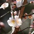 Photos: 西門脇の梅