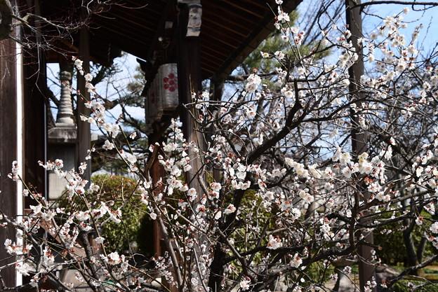 Photos: 本満寺の白梅