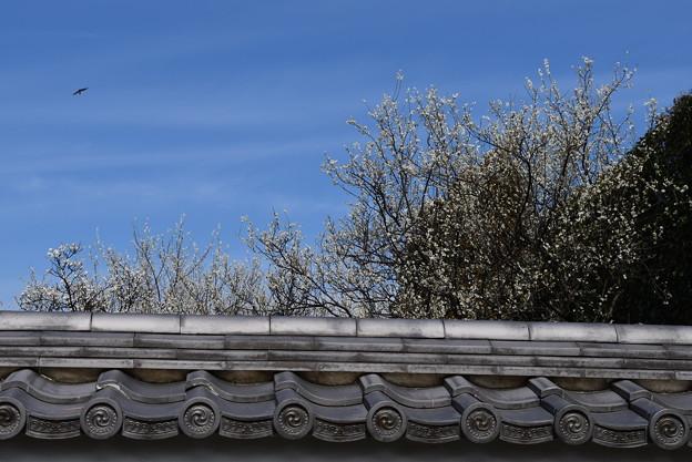 塀越しの白梅