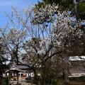 Photos: 鐘楼前の白梅