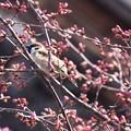 Photos: オカメに止まる雀(スズメ)