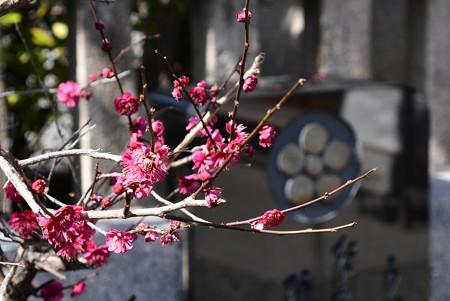 紅梅と梅鉢紋