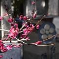 Photos: 紅梅と梅鉢紋