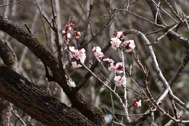咲き始めた杏(アンズ)