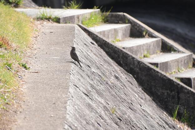 賀茂川の磯鵯(イソヒヨドリ)♀