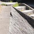 Photos: 賀茂川の磯鵯(イソヒヨドリ)♀