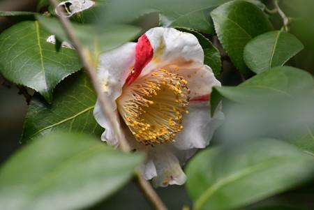 斑入りの椿