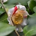 Photos: 斑入りの椿