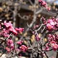 Photos: 善行院の紅梅