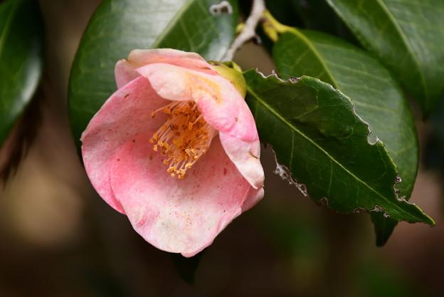 Photos: 稚児桜(チゴザクラ)