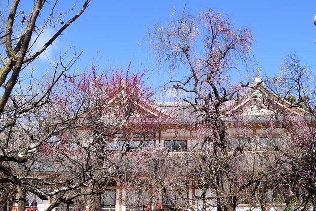 文道会館前の枝垂れ梅