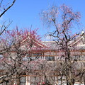 Photos: 文道会館前の枝垂れ梅