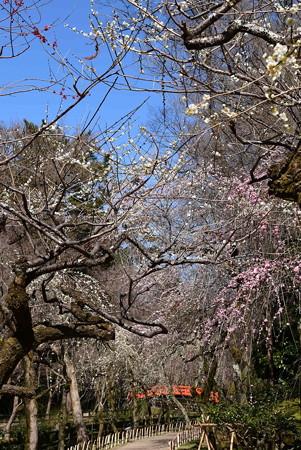 枝垂れ梅と鶯橋