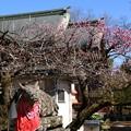 Photos: 撫牛さんと紅梅