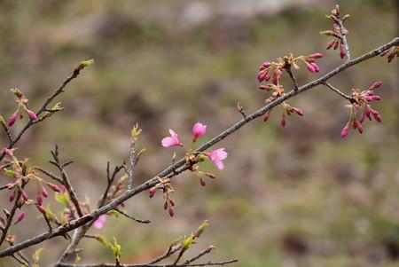 沖縄大宜味緋寒桜(オキナワオオギミヒカンザクラ)