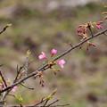 Photos: 沖縄大宜味緋寒桜(オキナワオオギミヒカンザクラ)
