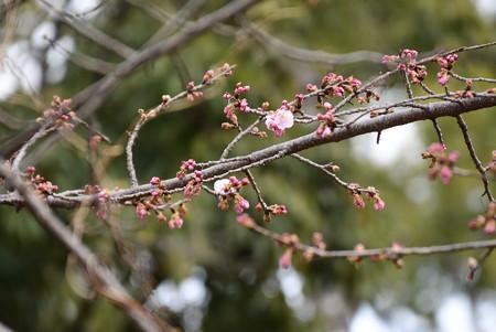 咲き始めた大寒桜(オオカンザクラ)
