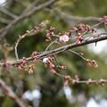 Photos: 咲き始めた大寒桜(オオカンザクラ)