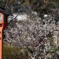 平野神社の桃桜(モモザクラ)