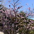 Photos: 知恩寺の桜