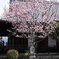 Photos: 蜂須賀桜(ハチスカザクラ)