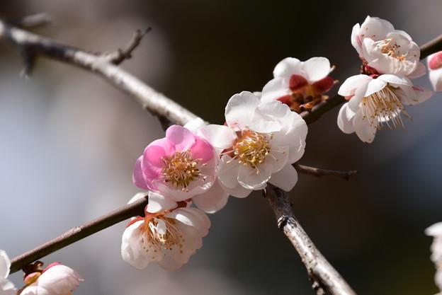紅白咲き分けの梅
