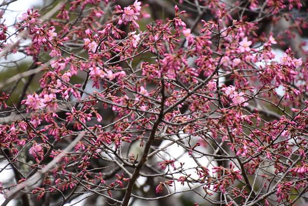 咲き始めたオカメ