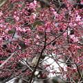 Photos: 咲き始めたオカメ