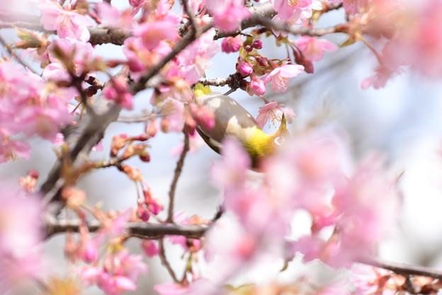 河津桜の中の目白
