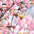 Photos: 河津桜の中の目白