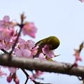 河津桜にやって来た目白
