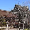 三光門前の枝垂れ梅